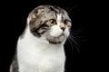 Serious cat of scottish fold breed on isolated black background Royalty Free Stock Photo