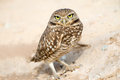 Serious looking burrowing owl standing by its burrow Stock Image