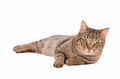 Serious looking tabby cat on a white background with large green eyes Royalty Free Stock Photos