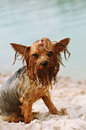 Serious portrait of wet yorkshire terrier sitting on the beach Stock Photos