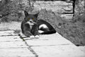 Serious pretty cat on old town street black and white horizontal shot Royalty Free Stock Photography