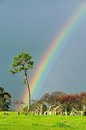 Serious rainbow behind lone pine tree in farmland Royalty Free Stock Photo