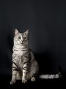 Serious young cat, cat portrait Royalty Free Stock Photo