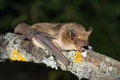 Serotine bat Royalty Free Stock Photo