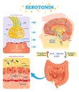 Serotonin vector illustration. Labeled diagram with gut brain axis and CNS. Royalty Free Stock Photo