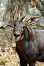 Serow Stock Photos