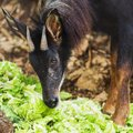 Serow the endanger species in thailand Stock Image