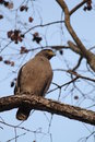 Serpent Eagle Royalty Free Stock Photo