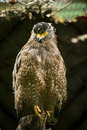 Serpent Eagle Stock Images