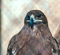Serpent eagle bird of prey in captivity Royalty Free Stock Photography