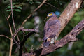 Serpent eagle with food crested prey in its mouth canon d mm f iso Royalty Free Stock Image