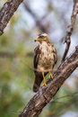 Serpent eagle juvenile canon d mm iso f sighted in western ghats forests of india Royalty Free Stock Photos