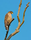 Serpent eagle sitting on tree branch in the forest Royalty Free Stock Images