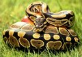 Serpent python Royalty Free Stock Photo