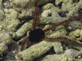 Serpent sea star on corals a the in gili trawangan Royalty Free Stock Image