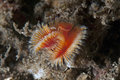Serpula sea worm common in australia this sabellide has orange feathers like tentacles that uses to catch preys Royalty Free Stock Image