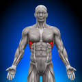 Serratus anterior anatomy muscles medical imaging Stock Photography