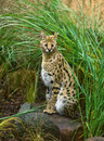 Serval Royalty Free Stock Photos