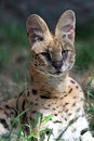 Serval Royalty Free Stock Photo