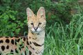 Serval, female Stock Photo