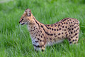 Serval in the grass Royalty Free Stock Photos