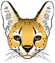Serval an ink illustration of a servals head Stock Photo