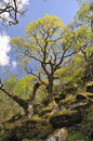 Sessile oak woodland steep rspb dinas carmarthenshire wales Royalty Free Stock Photos