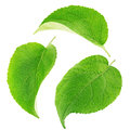 Set of apple tree leaves isolated on a white Royalty Free Stock Photo