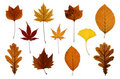 Set of Autumn Leaves Isolated on White Stock Photography