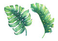 Set of big tropical green leaf of Monstera plant. Royalty Free Stock Photo