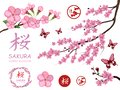 Set with blossom sakura flowers. Cherry flower blossom. Pink sakura flower blossom isolated on white background. Spring cherry