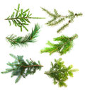 Set of branches of coniferous trees isolated on white background Royalty Free Stock Photo