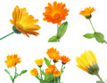 Set of calendula flowers Stock Photography