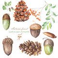 A set, collection with the floral isolated watercolor forest elements (oak acorns, cones, rowan)