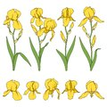 Set of color illustrations with yellow iris flowers. Isolated vector objects.