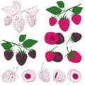 Set of colored and hand drawn raspberry and blackberry on the white background Royalty Free Stock Photos