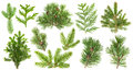 Set of coniferous tree branches. Spruce pine thuja fir cone Royalty Free Stock Photo