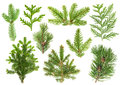 Set of coniferous tree branches. Spruce, pine, thuja, fir Royalty Free Stock Photo