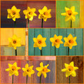Set coolage yellow daffodil flowers narcissus collage of on bright backgrounds orange frame Royalty Free Stock Images