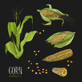 Set of corn plant. Colorful hand drawn collection maize. Vector illustration on black background.