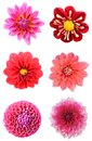 Set of dahlia flower heads Royalty Free Stock Photo