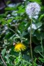 Set of dandelion and flower in the garden