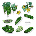 Set of different cucumber, on branch, flowering. Cuke slices, cut along, top view, from side. Colorful vector hand drawn