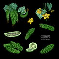 Set of different cucumber, on branch, flowering. slices, cut along, top view, from side. Colorful vector hand drawn