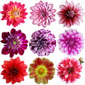 Set Of Different Dahlias