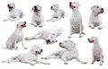 Set of Dogo Argentino Royalty Free Stock Photo