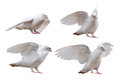 Set of dove poses isolated on white Royalty Free Stock Photo