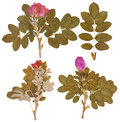 Set of dry twigs and pressed flowers of wild rose isolated