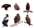 Set of eagles. Isolated over white Stock Image