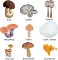 Set of edible mushrooms Royalty Free Stock Photos